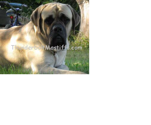 Mastiff breeder Thunderbolt Mastiffs
